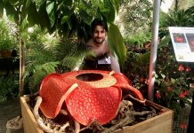 Dr Chris Thorogood and his 3D oil-painting of Rafflesia arnoldii.