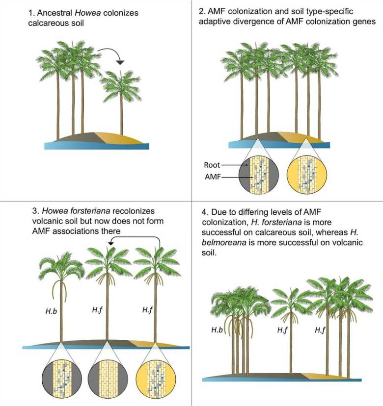 One possible scenario leading to the reduction of arbuscular mycorrhizal fungi (AMF) in Howea forsteriana