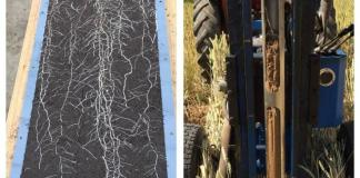 Deep roots of wheat in the field