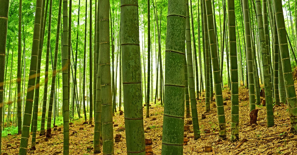 bamboosting growth  why does bamboo grow so fast   u00ab botany one