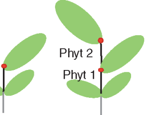 Diagrammatic representation of phytomer growth.