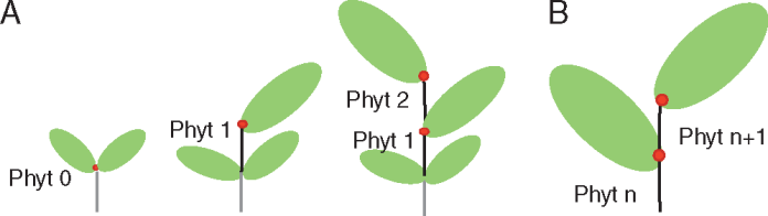 Diagrammatic representation of phytomer growth.