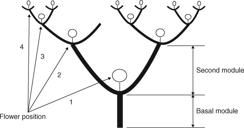 Leeuwenberg's architectural model of Datura stramonium