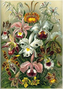A lithographic color plate from Ernst Haeckel's Kunstformen der Natur of 1899 showing an artist's depiction of different varieties of orchids.