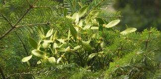 Viscum album subsp abietis