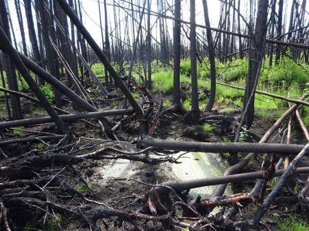 This heavily drained section of bog outside Fort McMurray, Alta., populated by larger black spruce trees, burned more severely than moderately drained and undrained sections