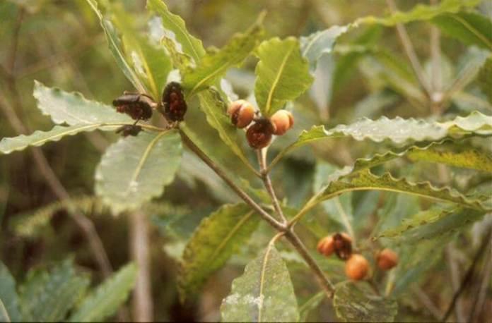 Pittosporum undulatum fruits