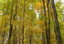 Fall foliage in a Michigan northern hardwood forest.