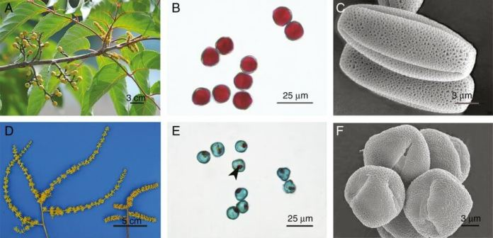 Comparison of the phenotype and fertility between male flowers and hermaphrodites.