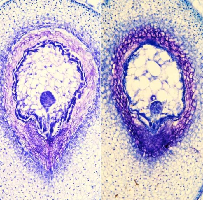 Histological sections of wild tomato
