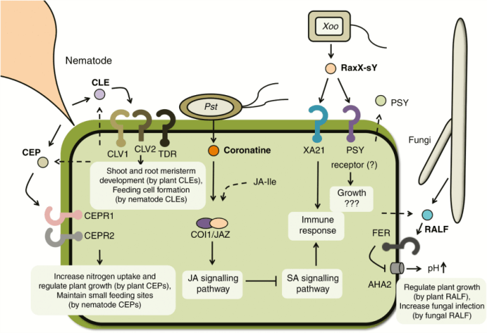 Plant pathogens produce molecular mimics that modulate plant signalling pathways.