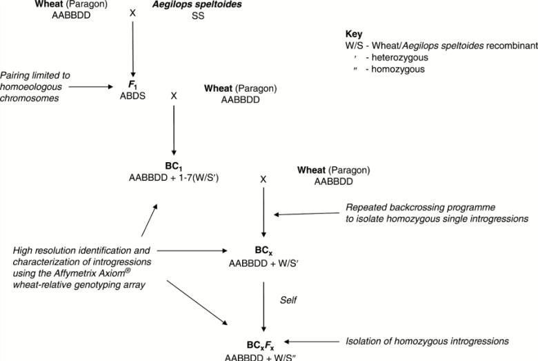 Wheat/wild relative introgression strategy.