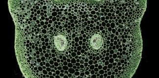 Transverse section through the petiole of Asplenium rutifolium
