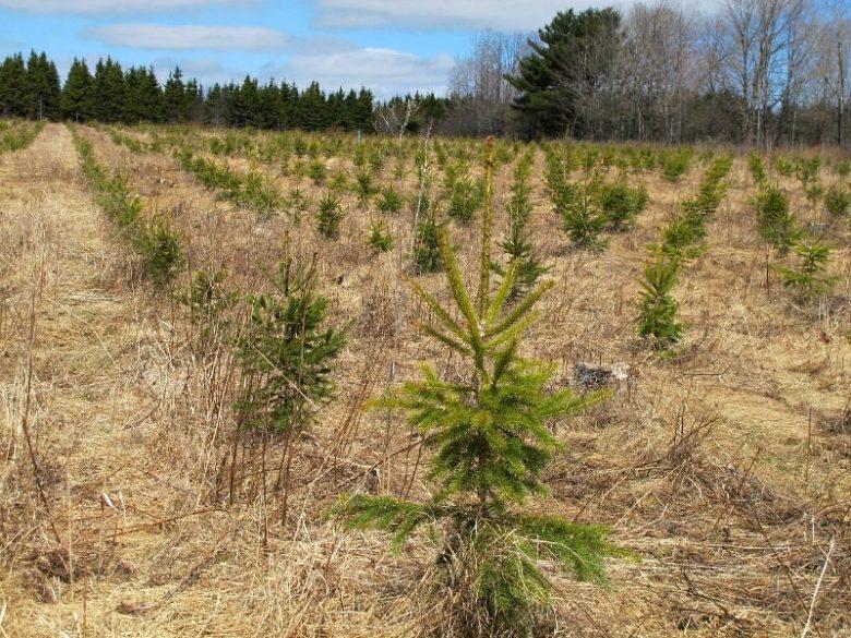 Picea glauca plantation