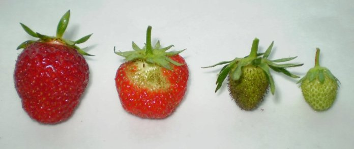 Strawberry fruits at various ripening stages