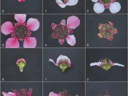 Stages of mānuka flower development