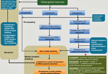 A workflow depicting types of wheat genetic resources