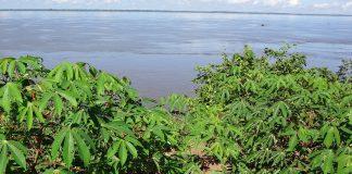 Manioc (Manihot esculenta Crantz) swidden overlooking the Negro River