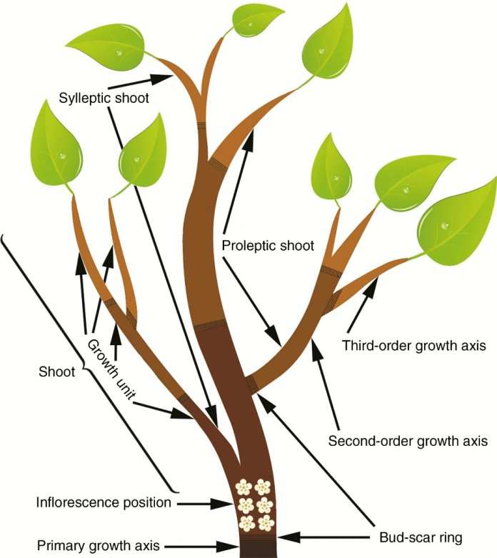 Two-dimensional representation of an annual growth module (AGM), that forms from an indeterminate compound inflorescence over an annual growing period, comprising one mixed reproductive and vegetative growth flush (spring, dark brown) and two vegetative growth flushes (summer, brown, and autumn, light brown).