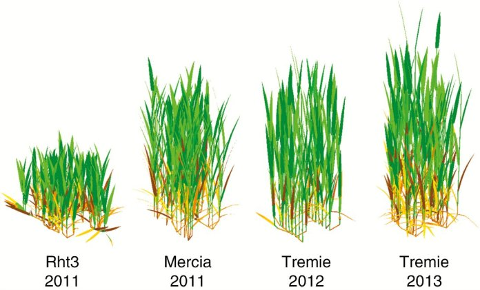 Plant architecture simulated by the model ADELWheat for the four experimental treatments