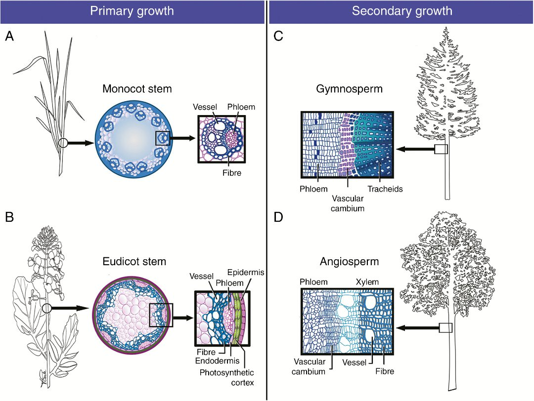 The Cell Biology Of Secondary Cell Wall Biosynthesis