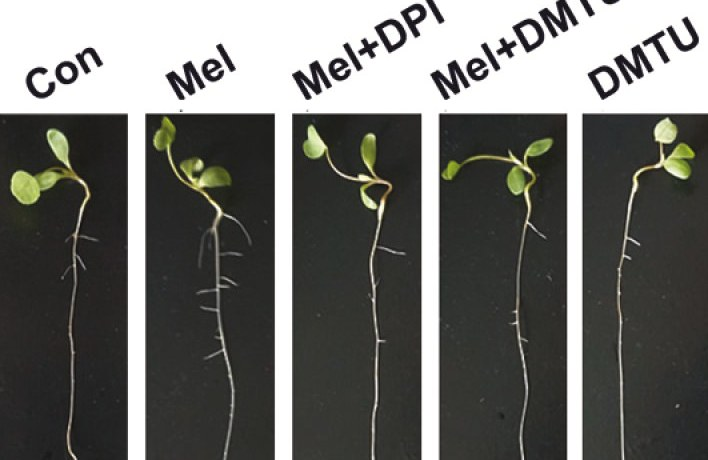 Formation of lateral roots in Arabidopsis.