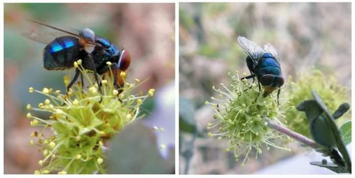 Insect pollinators of Anogeissus sericea var. nummularia.
