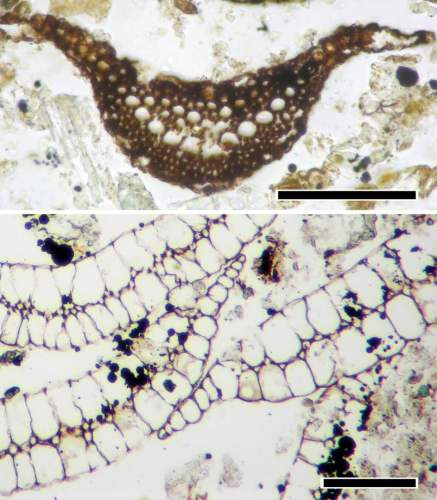 Diverse cell types making up diminutive leaves