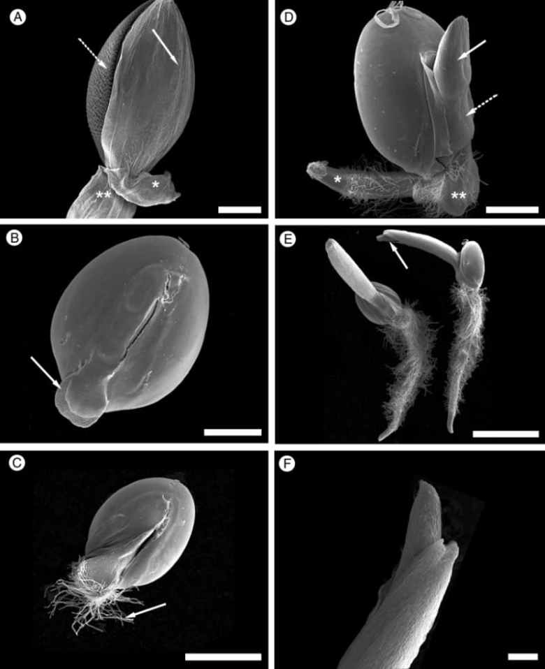 Scanning electron microscopy of <em>S. viridis</em> diaspore during germination from dry seed