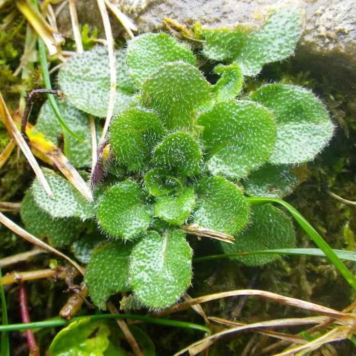 Arabidopsis rosette