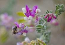 Silver bee (Habropoda miserabilist) pollinating silky beach pea (Lathyrus littoralis)