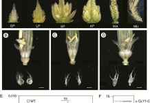Effect of absence of miR172a on inflorescence phenotype and accumulation of CLY1.