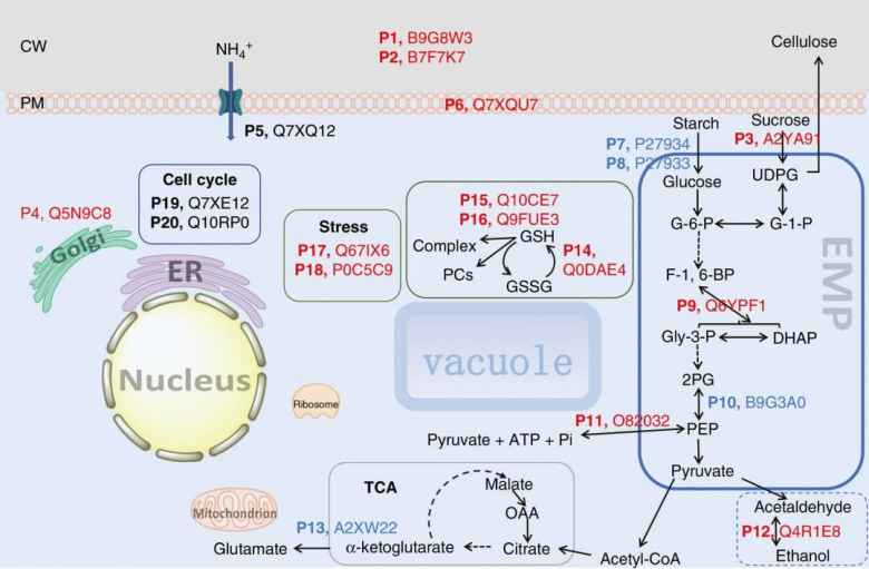 Schematic illustrating the influence of Si on intracellular biochemical pathways in suspension cells of rice.