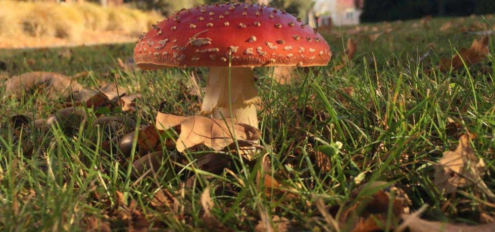 The fungus Amanita muscaria, one of the species in this study