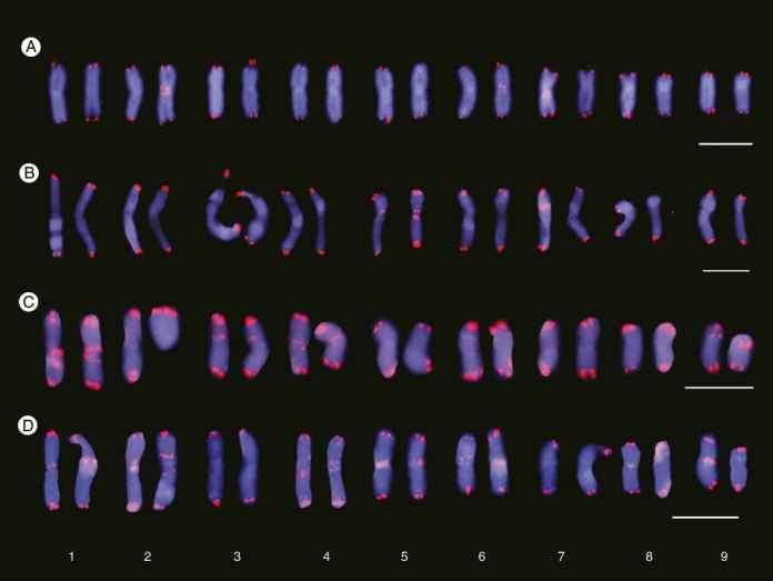 Cariograms showing inter- and intrapopulation site number variation of interstitial telomeric repeats (ITRs) in Anacyclus clavatus.