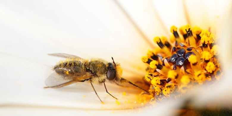 Dimorphotheca pollen is deposited onto a fly Corsomyza as it probes a flower for nectar.