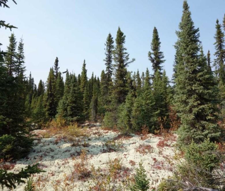 Conifer forest of black spruce and Jack pine.