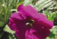 Petunia secreta and its bee pollinator