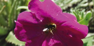 Petunia secreta and its bee pollinator