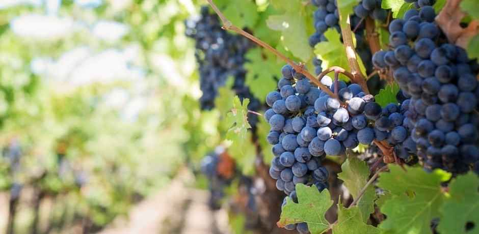 Grapes in the Napa Valley