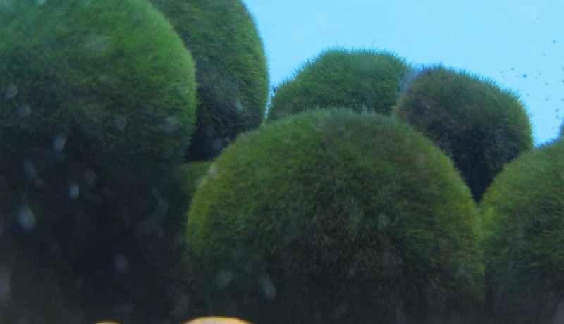 Marimo balls