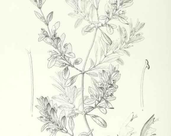 Stenogyne angustifolia drawing