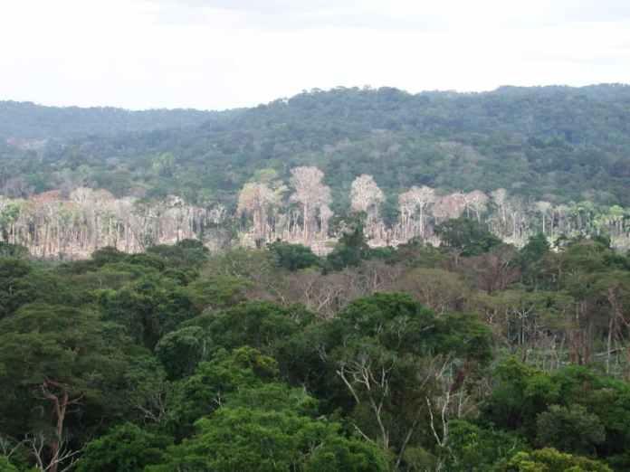 Dead trees in the Amazon