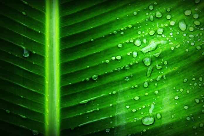 A fluorescent leaf