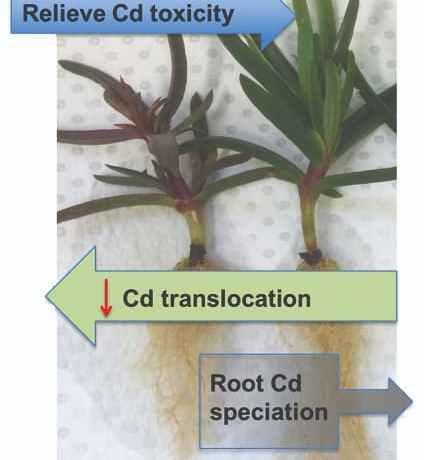 Cadmium translocation