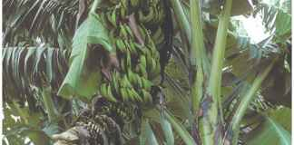 East African bananas
