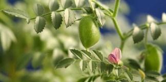 Chickpea plant