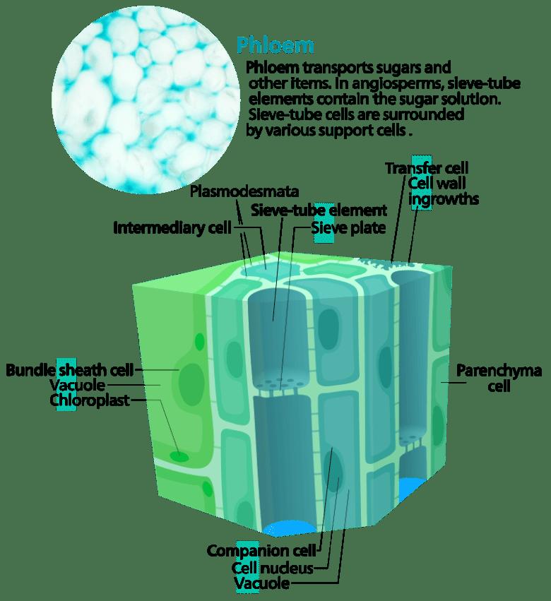 Phloem diagram