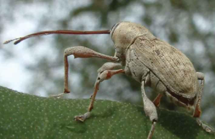 Curculio weevil