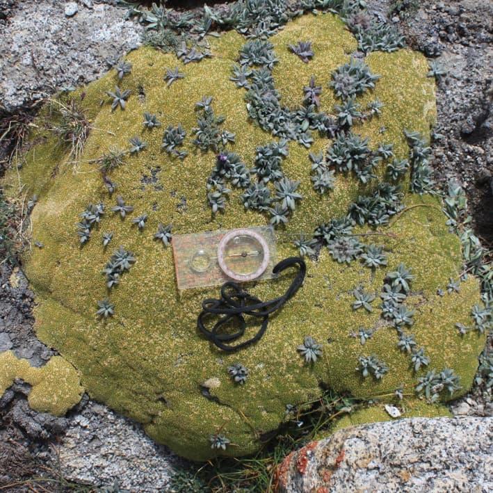 Vascular plants in an alpine cushion